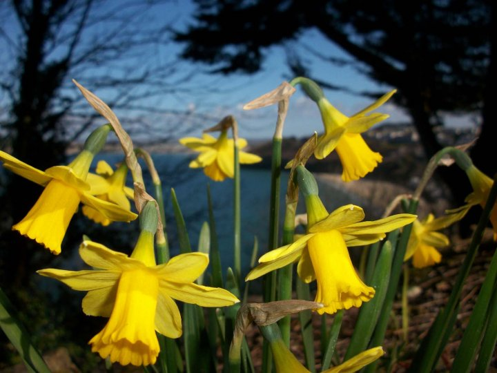 daffodils over carbis